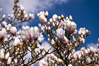 Bildagentur Pitopia Bilddetails Magnolienbaum 3quarks Bild