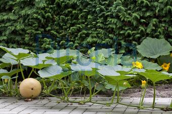 Bildagentur Pitopia Bilddetails Kurbispflanze Klaus Kaulitzki