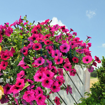 Bildagentur Pitopia - Bilddetails - Hängepetunie Auf Dem Balkon ... Blutenpracht Auf Dem Balkon Blumen
