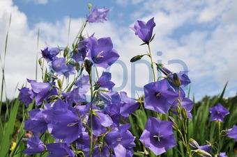 Bildagentur Pitopia Bilddetails Glockenblumen Anabpictures