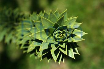 Bildagentur Pitopia Bilddetails Araucarie Dotshot Bild 124121