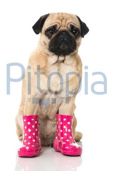 pretty nice d7d7e fc17f Bildagentur Pitopia - Bilddetails - Mops mit Gummistiefeln ...