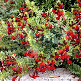 Bildagentur Pitopia Bilddetails Zigarettenblumchen Cuphea