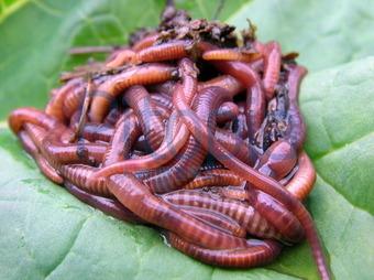 Kompostwürmer bildagentur pitopia bilddetails kompostwürmer