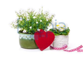 Bildagentur Pitopia Bilddetails Herz Glockenblume Primel