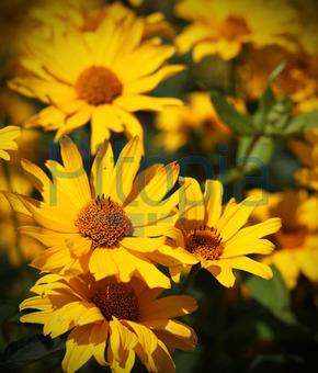 Bildagentur Pitopia Bilddetails Gelbe Blumen Im Herbst Mit