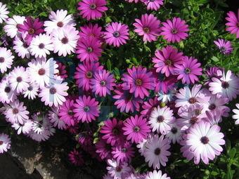 garten blumen lila, bildagentur pitopia - bilddetails - violett-weißer blumenbusch, Design ideen