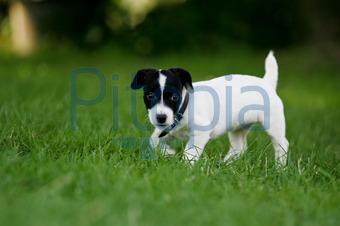 Bildagentur Pitopia Bilddetails Weißer Hund Mit Schwarzem Kopf