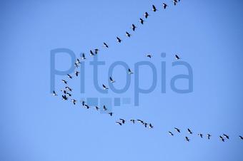 new style 83195 00937 Bildagentur Pitopia - Bilddetails - Ziehende Kraniche ...