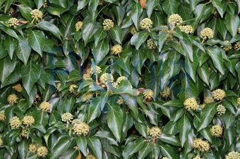 Kletterpflanze Immergrün bildagentur pitopia bilddetails blühender efeu wajopi bild
