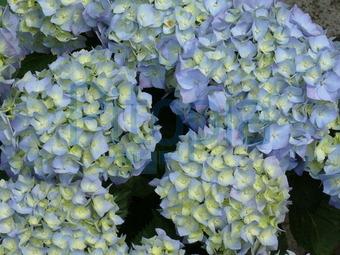 garten blumen lila blau rosa aquarell vektor illustration ... - Garten Blumen Blau