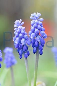 garten blumen lila | rheumri.com - Garten Blumen Blau