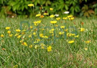 Bildagentur Pitopia - Bilddetails - Gelbe Blumen auf der Wiese ...
