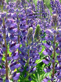 bildagentur pitopia - bilddetails - blaue sommerblumen (günther ... - Garten Blumen Blau