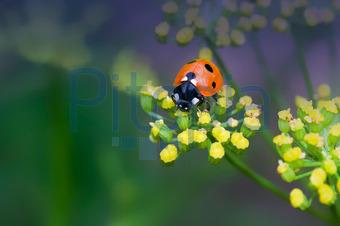 Bildagentur Pitopia Bilddetails Roter Käfer Auf Gelber Blüte