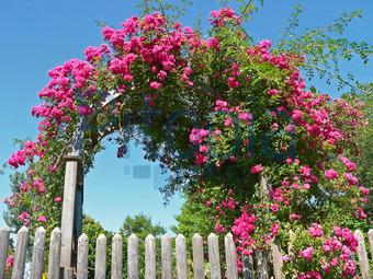 bildagentur pitopia - bilddetails - rosenbogen (susazoom) bild, Garten seite