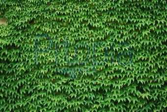 Kletterpflanze Immergrün bildagentur pitopia bilddetails efeublätter otto bild